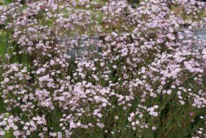 insectvriendelijke tuin met een Gipskruid