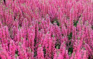 insectvriendelijke tuin met een Heide