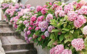 insectvriendelijke tuin met een Klimhortensia en hortensia