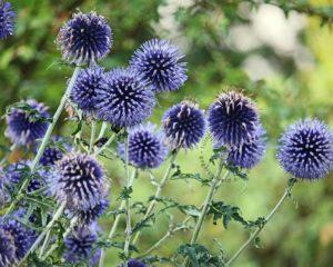 insectvriendelijke tuin met Kogeldistel