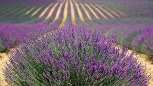 insectvriendelijke tuin met Lavendel