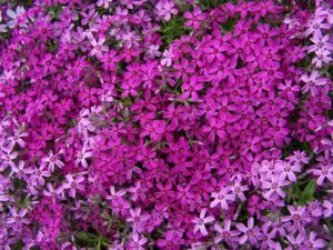 insectvriendelijke plant Vlambloem