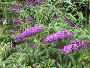 insectvriendelijke plant Vlinderstruik