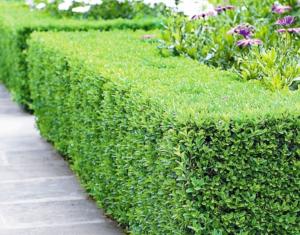 voortuin met Taxus hagen voor landelijke sfeer