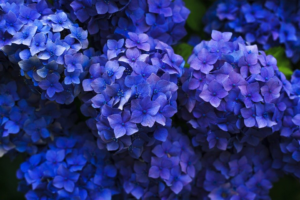 Hortensia's voor romantische voortuin